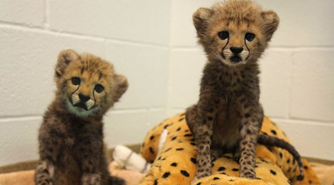 DALLAS ZOO INTRODUCES TWO CHEETAH CUBS